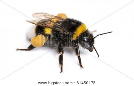 Buff-tailed bumblebee, Bombus terrestris, isolated on white