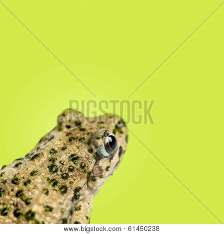 Close-up of a Common parsley frog rear view, Pelodytes punctatus, on green background