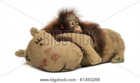 Young Bornean orangutan hugging its burlap stuffed toy, looking sad, Pongo pygmaeus, 18 months old, isolated on white