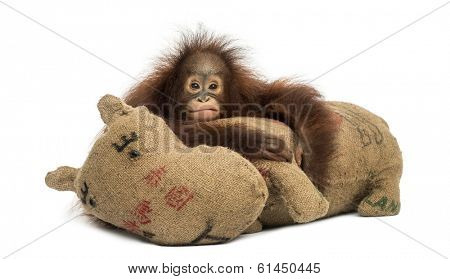 Young Bornean orangutan hugging its burlap stuffed toy, looking at the camera, Pongo pygmaeus, 18 months old, isolated on white