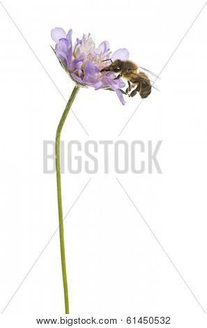European honey bee landed on a flowering plant, foraging, Apis mellifera, isolated on white