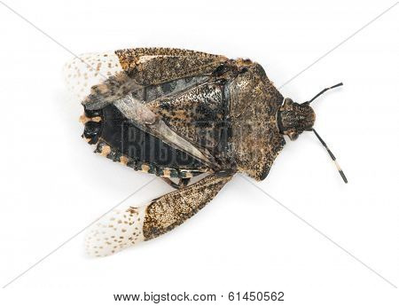 View from up high of a dead Stink Bug, Pentatomoidea, isolated on white