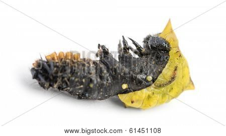 Dead caterpillar while transforming in chrysalid, isolated on white