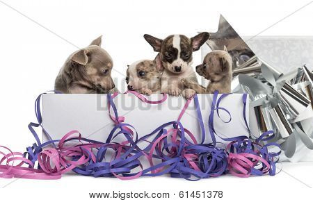 Group of Chihuahua puppies in a present box with streamers, isolated on white