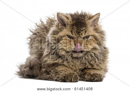 Front view of a grumpy Selkirk rex lying, licking its lips, looking at the camera, isolated on white