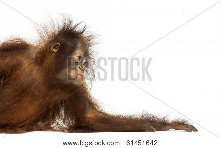 Side view of a young Bornean orangutan leaning on its arm, Pongo pygmaeus, 18 months old, isolated on white