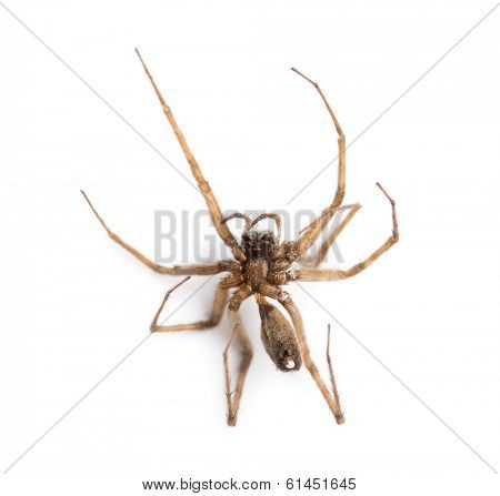 Dead spider viewed from below, Araneidae, isolated on white