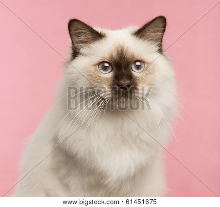 Close-up of a Birman cat on a pink background
