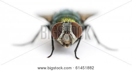 Front view of a Common green bottle fly facing, Phaenicia sericata, isolated on white