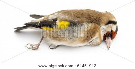 Side view of a dead European Goldfinch, Carduelis carduelis, isolated on white