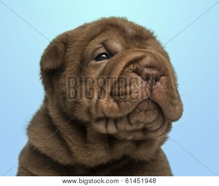 Close-up of a Shar Pei puppy on a blue background