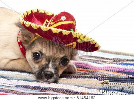 Chihuahua puppy with native Mexican hat