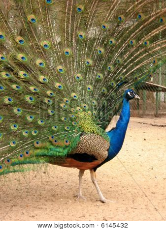 Peacock With Flowing Tail, Profile