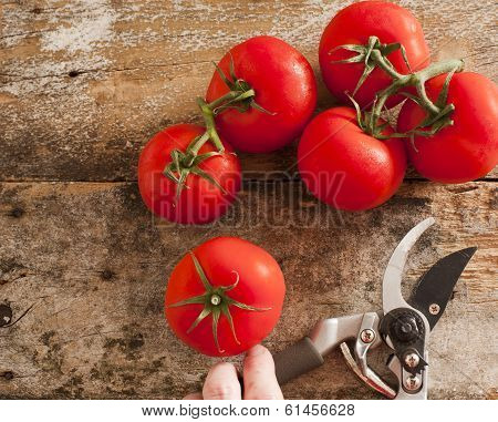 Freshly Harvested Ripe Red Grape Tomatoes