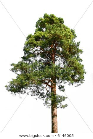 Lone Pine Tree On White