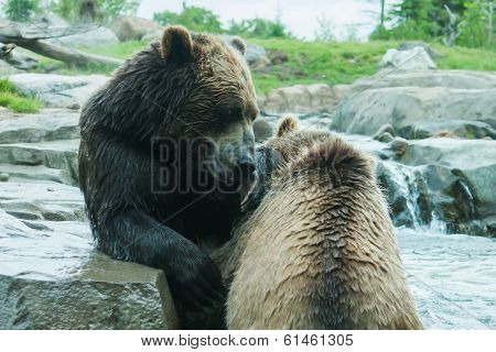 Two Grizzly (brown) Bears Fight