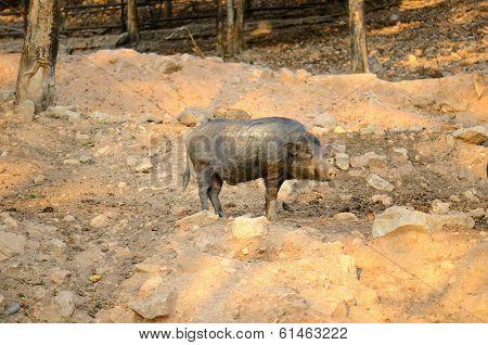 Eurasian Wild Pig (sus Scorfa)
