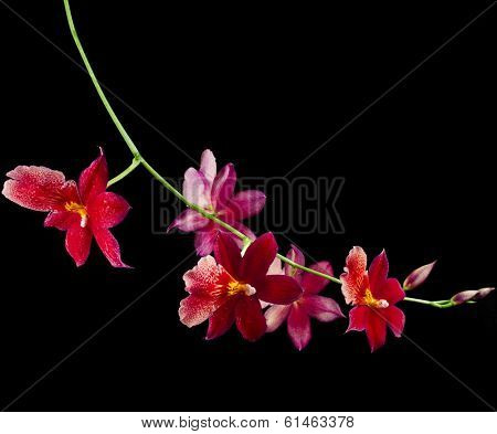 Orchid  Burrageara  isolated on black background