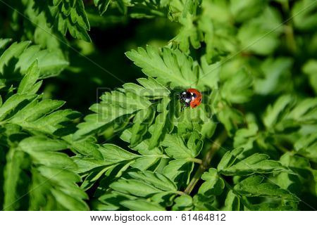 Closeup Of Ladybird On Cow Parsley