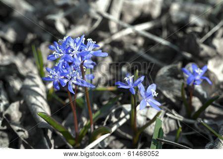 Siberian Squill Blue Flower