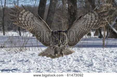 Great Gray Owl in flight
