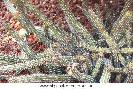 Strange Cactus