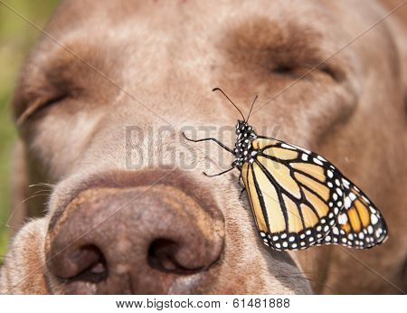 Monarch butterfly perched on the side of a dog's nose, with the dog sleeping
