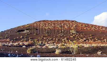 Vegetation In Vulcanic Area In Lanzarote