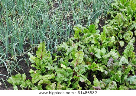 Organically Cultivated  Beetroot And Green Onion