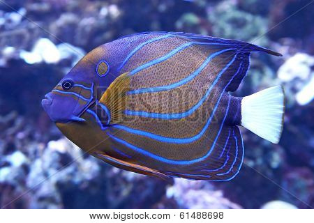 Bluering Angelfish (pomacanthus Annularis)