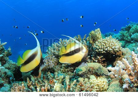Pair of Bannerfish on coral reef