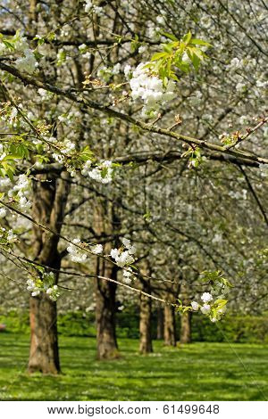 Branches of Japanese cherry trees, white flowers, in spring