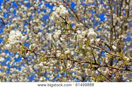 Flowers white with cherry trees mixed, in April in spring (France)