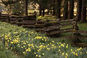 picture of split rail fence  - Abundant daffodils grow beside a rustic split rail fence in an early spring morning.