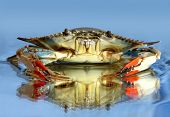 image of blue crab  - Live blue crab on blue water background - JPG