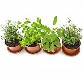 Collection of flavoring herbs in brown flower pot isolated on white background