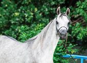 pic of colt  - portrait of arabian gray colt - JPG