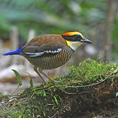 stock photo of belly-band  - A female of colorful Pitta, Malayan Banded Pitta (Pitta irena), standing on the log
