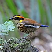 picture of belly-band  - A female of colorful Pitta - JPG