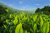 picture of cameron highland  - Tea plantation in Cameron Highlands - JPG
