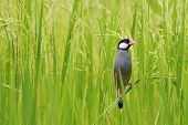 foto of java sparrow  - Java Sparrow  - JPG