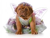 foto of dogue de bordeaux  - female puppy  - JPG