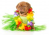 picture of hula dancer  - hula dog  - JPG