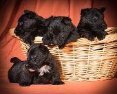 pic of scottie dog  - litter of puppies  - JPG