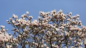 pic of saucer magnolia  - Details of a beautiful blossoming tree in spring the magnolia soulangeana - JPG