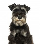Close-up of a Miniature Schnauzer looking at the camera, 1 year old, isolated on white