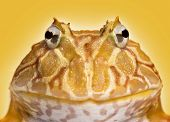 stock photo of pacman frog  - Close - JPG