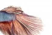 foto of siamese fighting fish  - Close - JPG