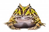 stock photo of pacman frog  - Front view of an Argentine Horned Frog - JPG