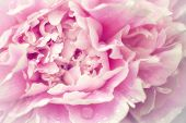 Delicate soft pink peony with vintage filter look.